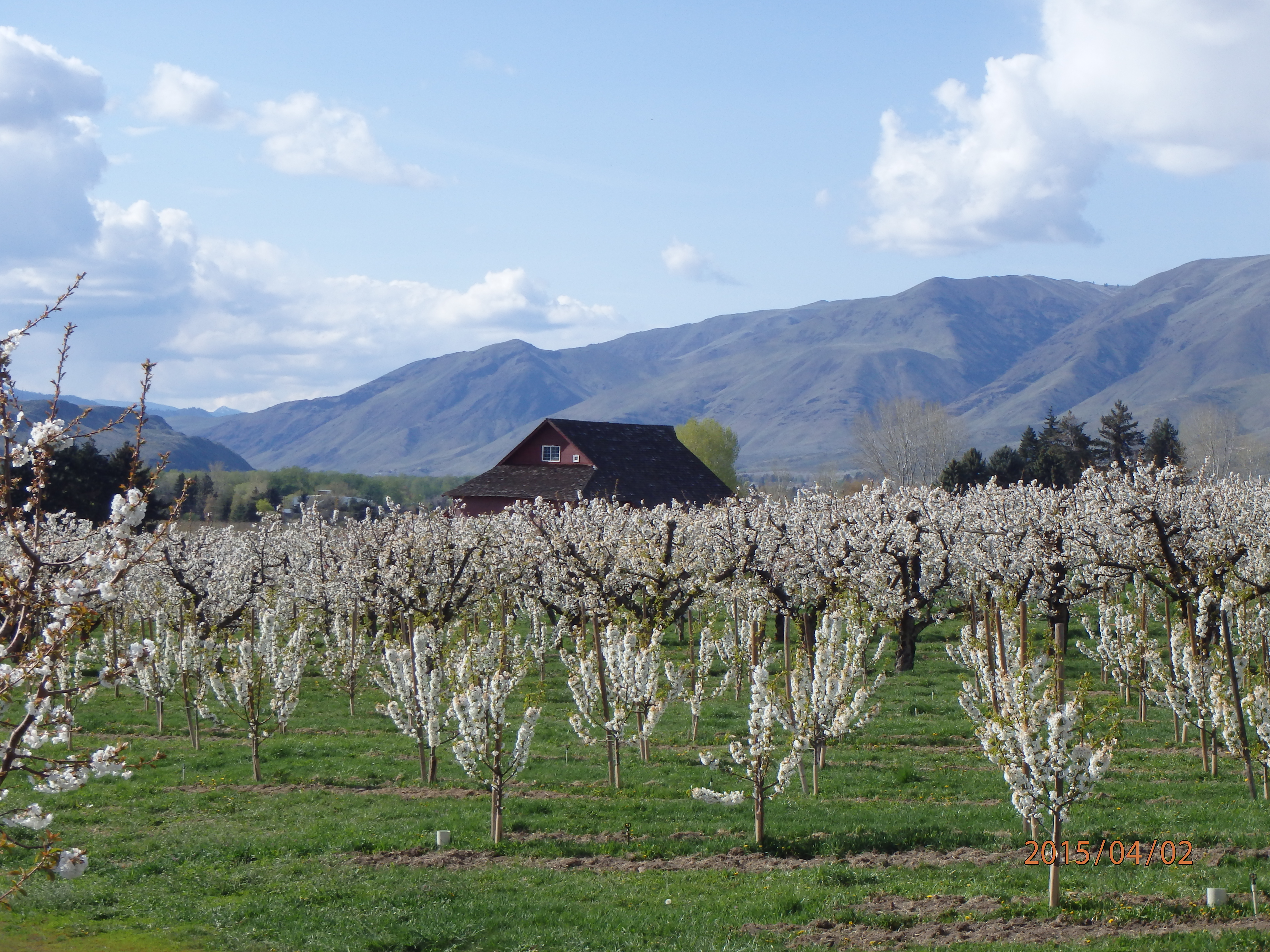 Mountain and Blooming Orchard